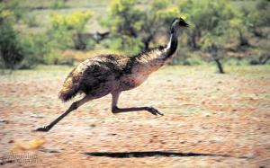 Emu,-Flinders-Ranges,-SA